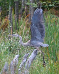 RHI Heron in marsh( Kelly L Ramker) 2